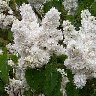 Syringa vulgaris Madame Lemoine (Witte Sering, gevulde bloemen, Flieder, Common lilac)