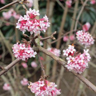 Viburnum bodnantense Dawn (Sneeuwbal, Schneeball)