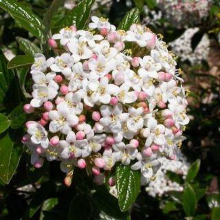 Viburnum Burkwoodii (Sneeuwball, Schneeball, Burkwood viburnum)