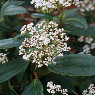 Viburnum Davidii (Sneeuwbal, Schneeball, David viburnum)