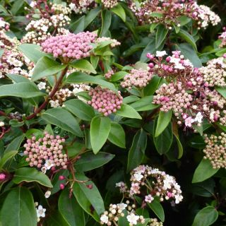 Viburnum tinus (Sneeuwbal, Lorbeerblättriger Schneeball, Laurustinus viburnum)