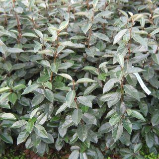 Elaeagnus ebbingei (olijfwilg - meeneemhaag)