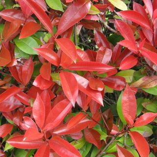 Photinia fraseri 'Red Robin' (Glansmispel als bolboom)