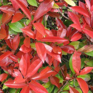 Photinia fraseri 'Red Robin' (Glansmispel meeneemhaag)