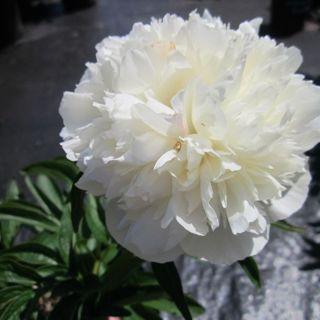 Paeonia officinalis 'Alba Plena' (witte pioenroos, Boerenpioen, Weiße Gemeine Pfingstrose, White garden peony)