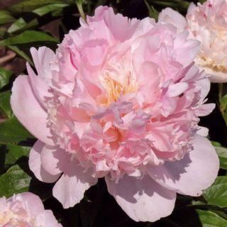 Paeonia lactiflora Angel Cheeks (Roze Pioenroos, Rosa Pfingstrose, Pink garden Peony)