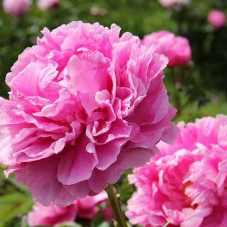 Paeonia lactiflora Dr. Alexander Fleming (roze pioenroos, rosa Pfingstrose, pink peony)