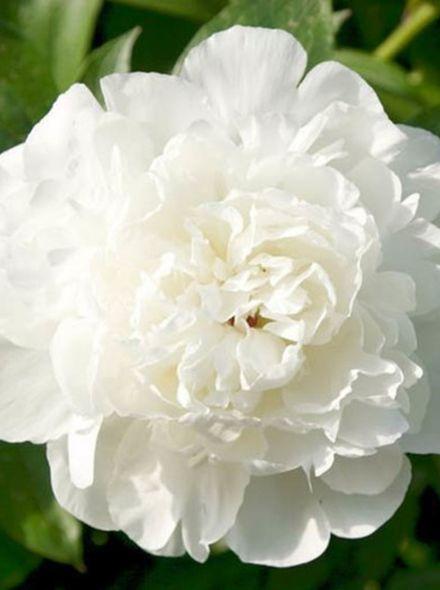 Paeonia lactiflora Elsa Sass (witte pioenroos, Weiße Pfingstrose, White garden peony)