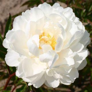 Paeonia lactiflora Gardenia (witte - witroze pioenroos, weiß - weiße rosa Pfingstrose, white - white pink peony)