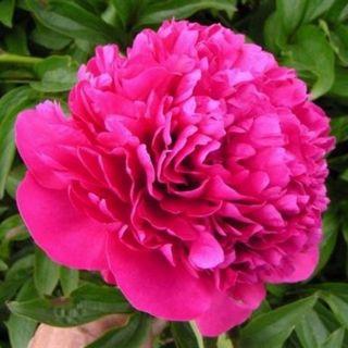 Paeonia lactiflora Jadwiga (paarsroze pioenroos, lila rosa Pfingstrose, purple pink peony)