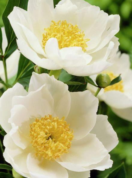 Paeonia lactiflora Jan van Leeuwen (witte pioenroos met geel hart, weiße Pfingstrose mit gelbem Herzen, white peony with yellow heart)