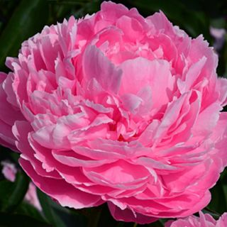 Paeonia lactiflora Margaret Clark (roze pioenroos, rosa Pfingstrose, pink peony)