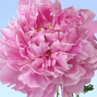 Paeonia lactiflora Miss Eckhardt (helderroze pioenroos, helle rosa Pfingstrose, bright pink peony)
