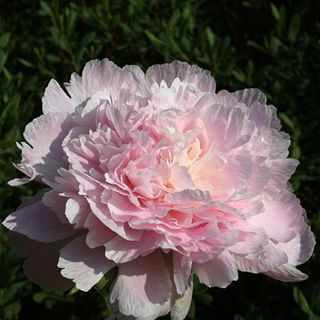 Paeonia lactiflora Pecher (zachtroze pioenroos, weiche rosa Pfingstrose, soft pink peony)