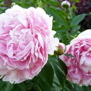 Paeonia lactiflora Sarah Bernhardt (zachtroze - lilaroze pioenroos, weiche rosa - lila Pfingstrose, soft pink - lilac peony)
