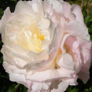 Paeonia lactiflora Shirley Temple (witte - witroze pioenroos, vaak rode vlekjes, white-white pink peony, weiß-weiße rosa Pfingstrose, oft rote Flecken, often red spots)