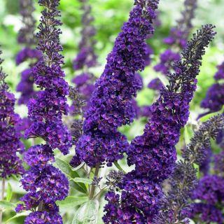 Buddleja davidii Black Knight (donkerpaarse vlinderstruik, dunkler lila Schmetterlingsbusch, dark purple butterfly bush)