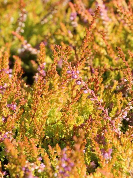 Calluna vulgaris Boskoop (lilapaarse zomerheide met goudgeel blad, Struikheide, Sommerheide, Summer Heather)