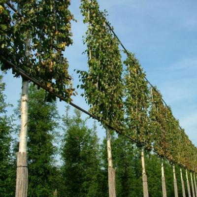 Kant en klare vormbomen