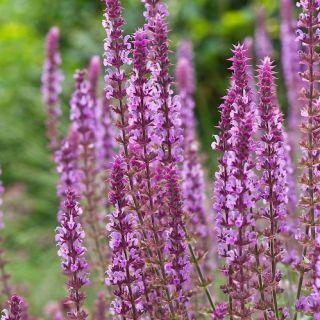 Salvia nemorosa Amethyst (Salie, Bossalie, Hain-Salbei, Steppen-Salbei, Woodland sage, Balkan clary)
