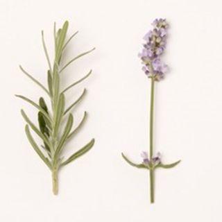 Lavandula angustifolia 'Blue Cushion' (Lavendel, Echter oder Schmalblättrige Lavendel, True or English Lavender)