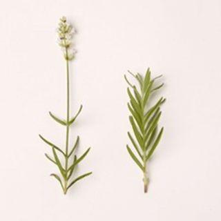 Lavandula angustifolia 'Blue Mountain White' (Lavendel, Echter oder Schmalblättrige Lavendel, True or English Lavender)