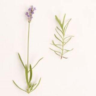 Lavandula angustifolia 'Little Lady' (Lavendel, Echter oder Schmalblättrige Lavendel, True or English Lavender)