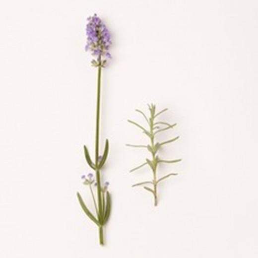 Lavandula angustifolia 'Melissa' (Lavendel, Echter oder Schmalblättrige Lavendel, True or English Lavender)