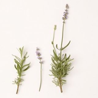 Lavandula angustifolia 'Melissa Lilac' (Lavendel, Echter oder Schmalblättrige Lavendel, True or English Lavender)