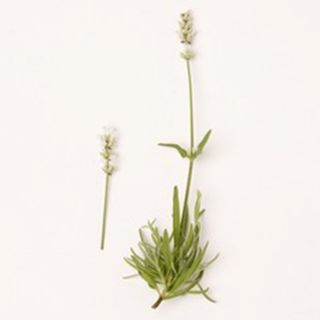 Lavandula angustifolia 'Nana Alba' (Lavendel, Echter oder Schmalblättrige Lavendel, True or English Lavender)