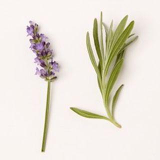 Lavandula x intermedia 'Hidcote Giant' (Lavendel, Lavender)