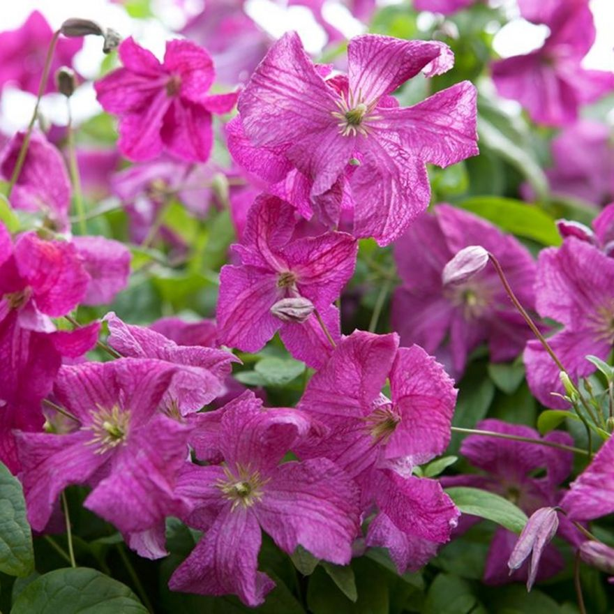 Clematis Abundance (paarsrood, lila rot, purple red)