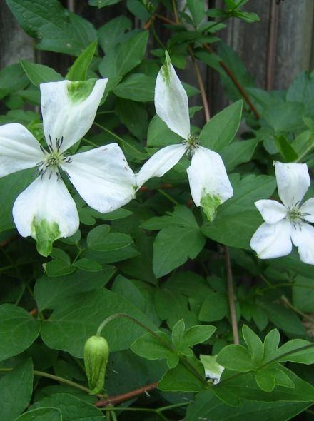 Clematis Alba Luxurians (wit met groen, weiß mit grün, white with green),