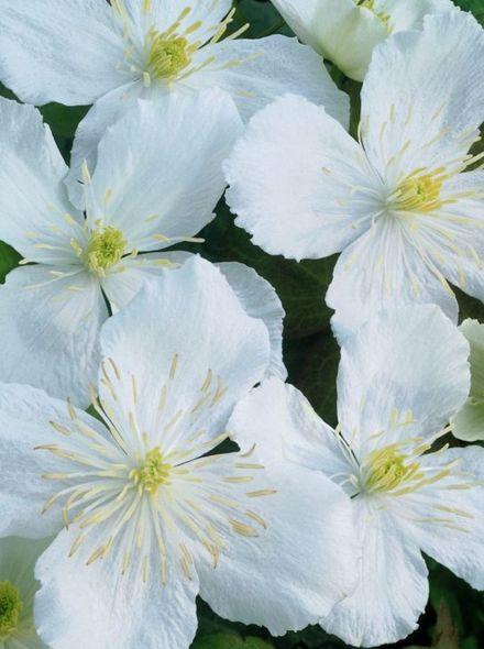 Clematis Alexander (witte bloemen, weiße blumen, white flowers)