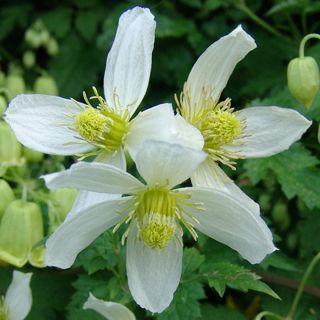 Clematis Anita (kleine witte bloemen, kleine weiße Blüten, small white flowers)