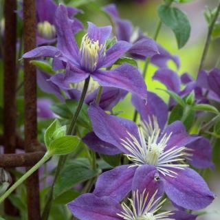 Clematis Arabella (paarse bloemen, lila Blüten, purple flowers)