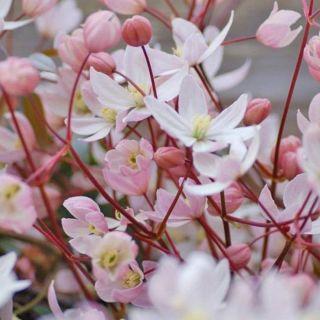 Clematis armandii Apple Blossom (kleine zachtroze geurende bloemen)