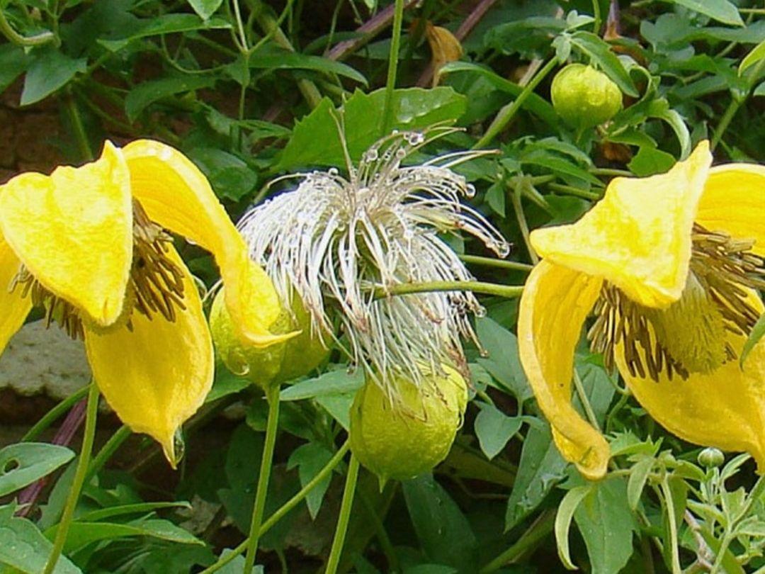Clematis Bill Mackenzie Gele Klokvormige Bloemen Gelbe