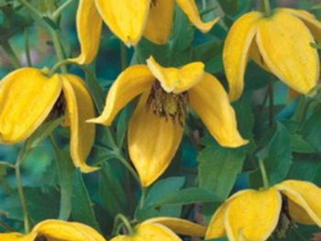 Clematis Corry Gele Klokvormige Bloemen Gelbe Glockenfrmige