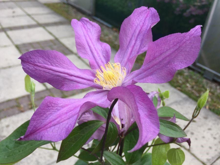 clematis east river paarse bloemen lila bl ten purple flowers de tuinen van appeltern. Black Bedroom Furniture Sets. Home Design Ideas