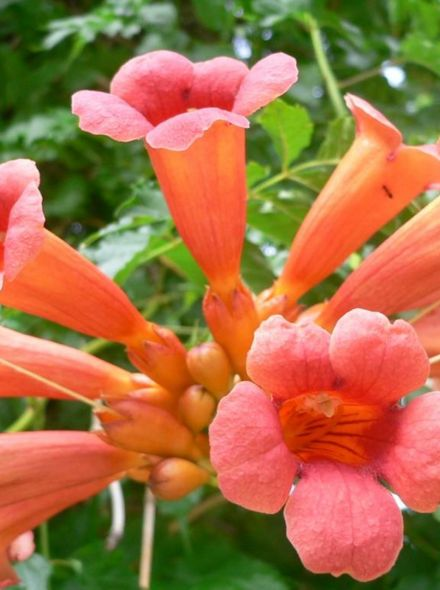 Campsis tagliabuana Madame Galen (oranjerode trompetklimmer, orange roter Trompetenblume, orange red Trumpet Vine)