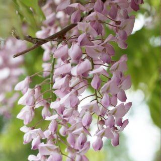 Wisteria floribunda Honbeni (Blauwe regen, Blauregen, Japanese wisteria, Chinese wisteria)