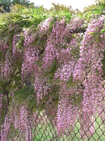 Wisteria floribunda Rosea (Blauwe regen, Blauregen, Japanese wisteria, Chinese wisteria)