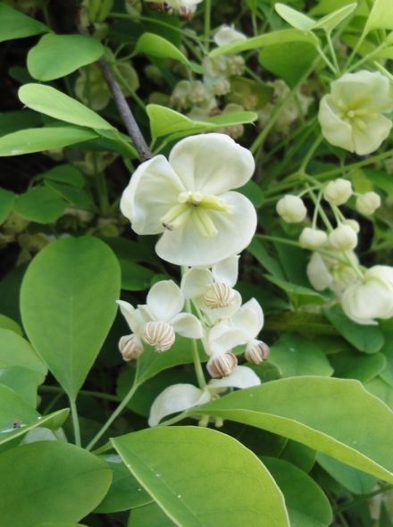 Akebia quinata Alba (Witte Klimbes, schijnaugurk, Weiße Klettergurke, Fingerblättrige Akebie, White Chocolate vine)