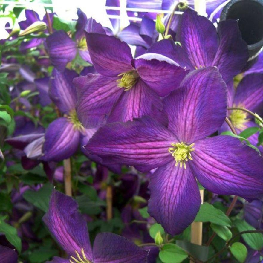 clematis jackmanii purpurea paarse bloemen lila bl ten purple flowers de tuinen van appeltern. Black Bedroom Furniture Sets. Home Design Ideas