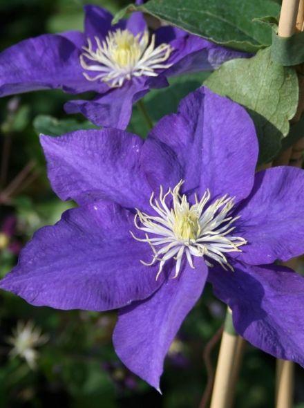 Clematis Kamila (blauwe bloemen, blaue Blumen, blue flowers)