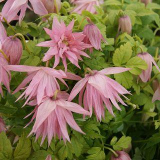 Clematis macropetala Country Rose (kleine roze bloemen, kleine rosa Blumen, small Pink Flowers)