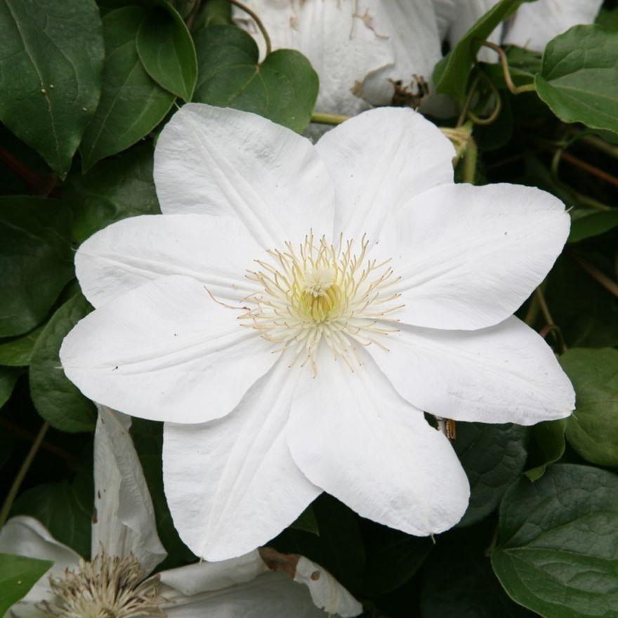 Clematis Mevrouw Le Coultre (grote witte bloemen, große weiße Blüten ...