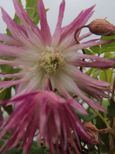 Clematis Sorbet (paars-roze bloemen met wit hart, lila-rosa Blüten mit weißem Herz, purple-pink flowers with white heart)