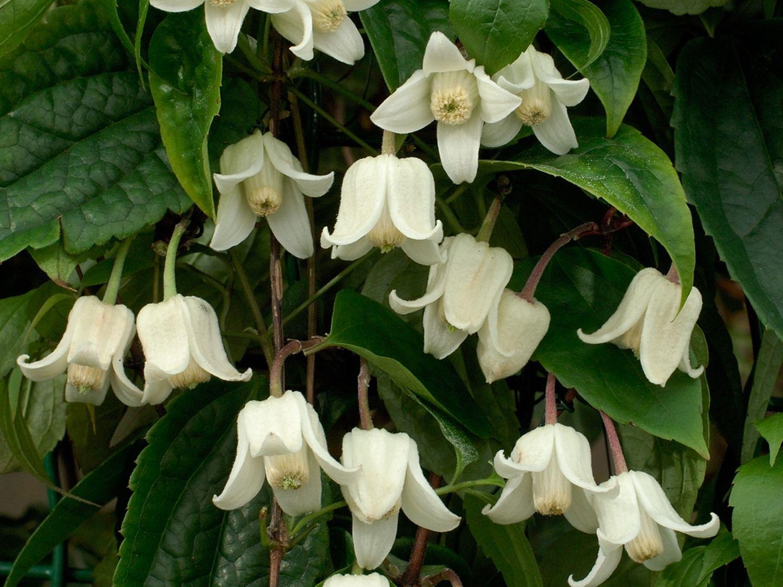 Clematis Winter Beauty Kleine Klokvormige Witte Bloemen